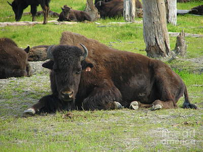 Photograph - American Bison At Rest by Lew Davis