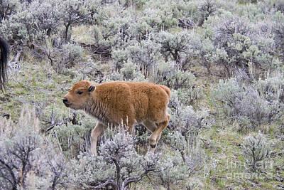 American Bison Calf Running Art Print by William H. Mullins