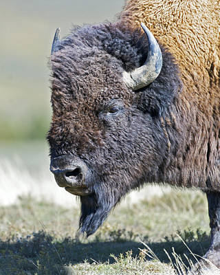 American Bison Closeup Art Print by Gary Langley