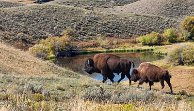 Photograph - American Bison Couple At Home On The Range by Kathleen Bishop