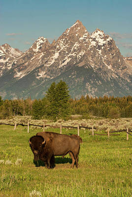 Bison Photograph - American Bison, Grand Teton National by George Theodore