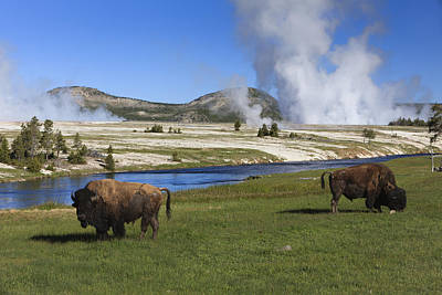 American Bison Grazing Along Firehole Print by Duncan Usher