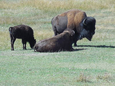 Photograph - American Bison by Jean Fry