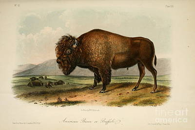 Animals Drawings - American Bison  by Celestial Images