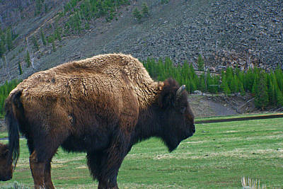 Photograph - American Bison by Jon Emery