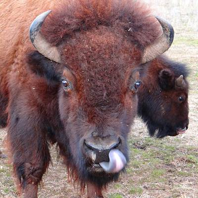 Photograph - American Bison by Keith Stokes