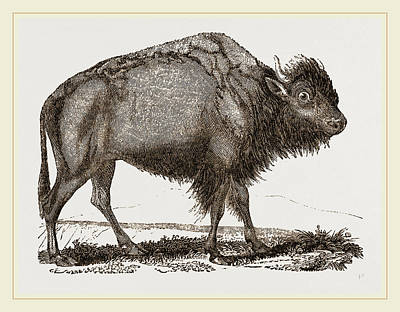 Bison Drawing - American Bison by Litz Collection