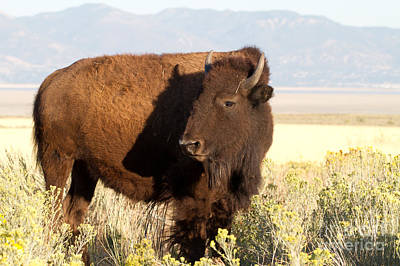 Photograph - American Bison by Martha Marks
