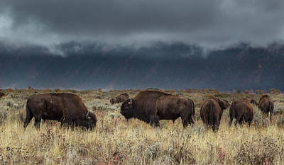 American Bison On The Prairie Art Print