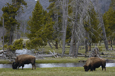 American Bison Pair Yellowstone Print by Pete Oxford