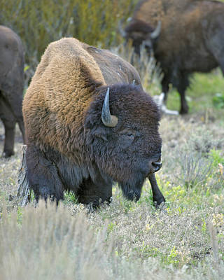American Bison Profile Art Print by Gary Langley