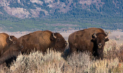 Photograph - American Bison Trio by Kathleen Bishop