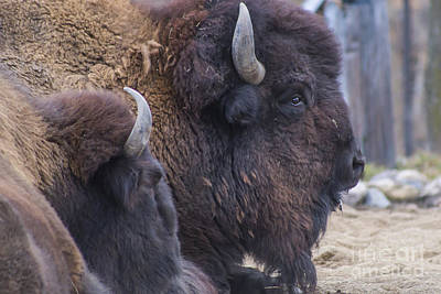 Bison Photograph - American Bison by Twenty Two North Photography
