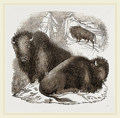 Bison Drawing - American Bisons by Litz Collection