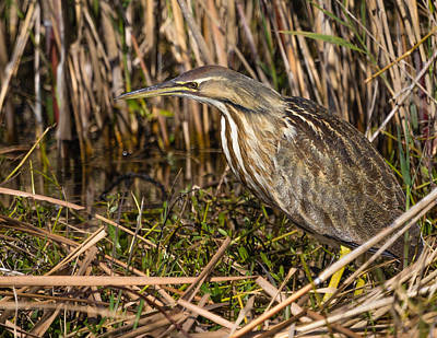 Photograph - American Bittern by Gregory Daley  PPSA