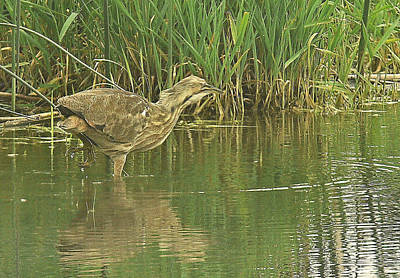 Photograph - American Bittern Heron  by Gracia  Molloy
