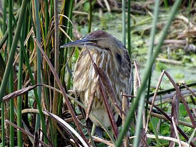 Photograph - American Bittern by Peggy King