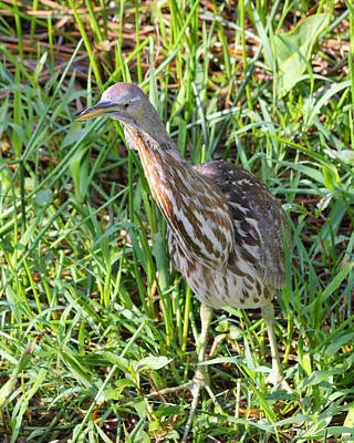Photograph - American Bittern  by Rudy Umans