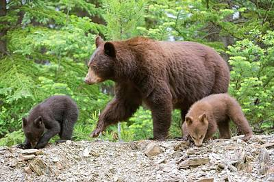 Omnivore Photograph - American Black Bear And Cubs by Dr P. Marazzi