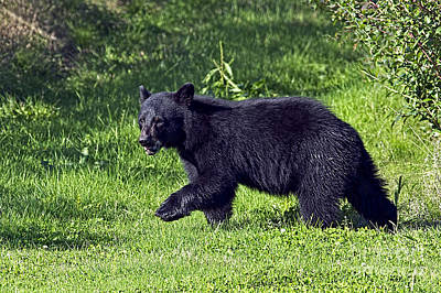 Photograph - American Black Bear Cub by Sharon Talson
