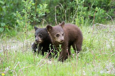 Omnivore Photograph - American Black Bear Cubs by Dr P. Marazzi