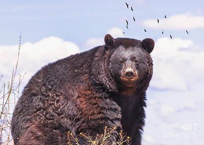 American Black Bear Art Print by Janice Rae Pariza