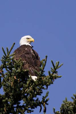 American Bold Eagle Original by Maik Tondeur