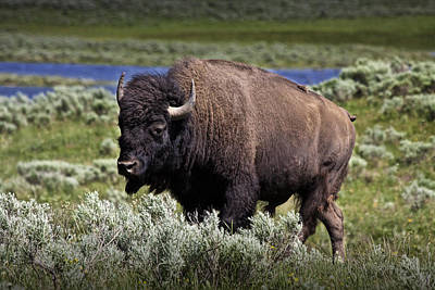 American Buffalo In Yellowstone Art Print by Randall Nyhof