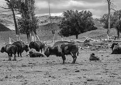 Photograph - American Buffalo by Karen Stephenson