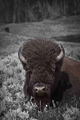American Buffalo Or Bison In Yellowstone National Park Art Print
