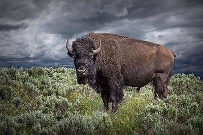 Randall Nyhof Royalty Free Images - American Buffalo or Bison in Yellowstone Royalty-Free Image by Randall Nyhof