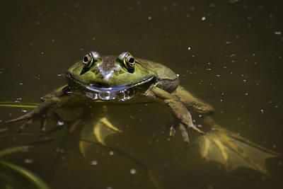 Photograph - American Bullfrog by Christina Rollo
