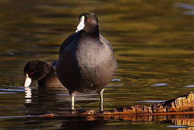 Print featuring the photograph American Coot  by Brian Cross