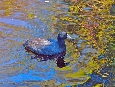 Art Print featuring the photograph American Coot by Kathy King