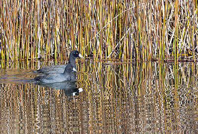 Photograph - American Coot by Michael Chatt