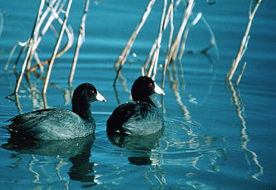 Coot Wall Art - Photograph - American Coots (fulica Americana) Swimming On Lake by William Ervin/science Photo Library