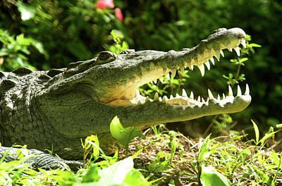 Crocodile Wall Art - Photograph - American Crocodile (crocodylus Acutus by Andres Morya Hinojosa