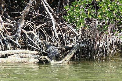 Photograph - American Crocodile Crocodylus Acutus by Becky Erickson