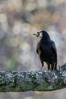Crows Photograph - American Crow by Bill Wakeley