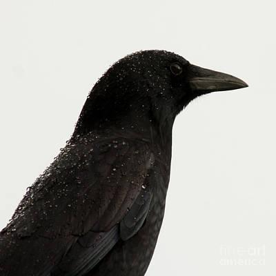 American Crow - Black On White Art Print