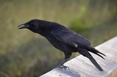Photograph - American Crow Calling Corvus Brachyrhynchos by rd Erickson