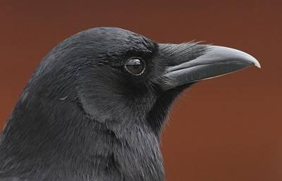 Photograph - American Crow by Joe Sweeney