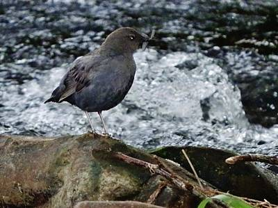 Photograph - American Dipper by VLee Watson