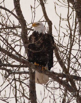 Photograph - American Eagle by Grace Grogan