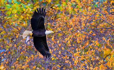 Eagle Photograph - American Eagle In Autumn by William Jobes