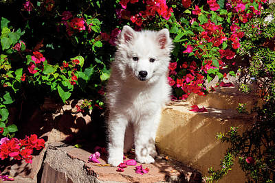 American Eskimo Puppy Sitting On Garden Art Print