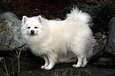 American Eskimo Dog Painting - American Eskimo Spitz Dog by Olde Time  Mercantile