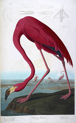 The Birds Photograph - American Flamingo by British Library