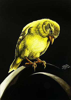 Drawing - American Gold Finch by Monique Morin Matson