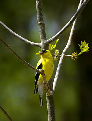 Photograph - American Gold Finch by Robert Camp